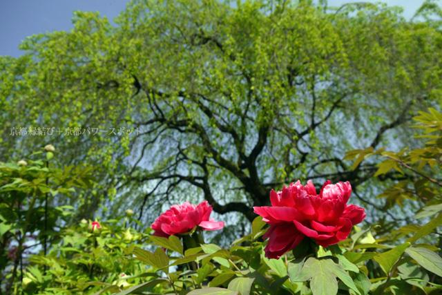 本満寺の八重桜