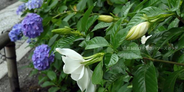 本法寺の紫陽花