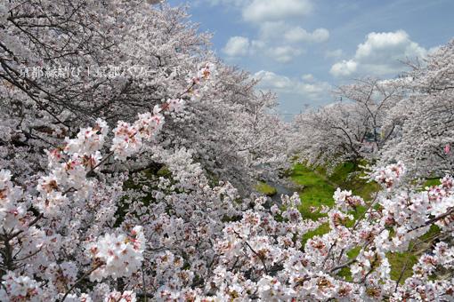 井出 玉川の桜