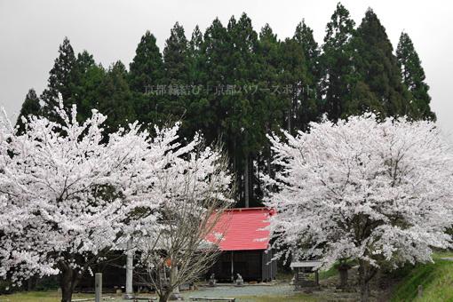 京都 京丹波町稲次 藤森神社の桜