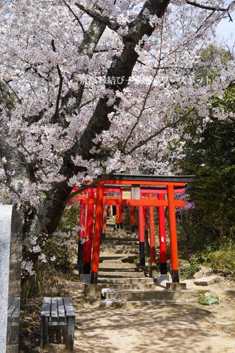 稲荷山の桜