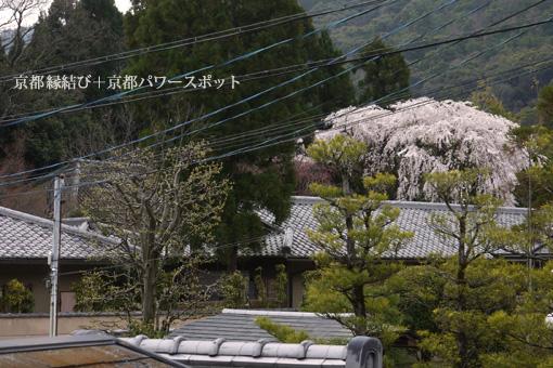 寂庵の枝垂桜