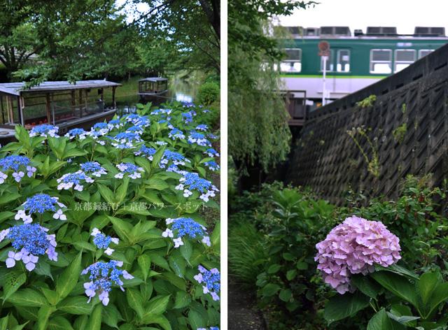 伏見濠川の十石舟と紫陽花