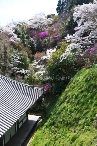 神童寺の桜