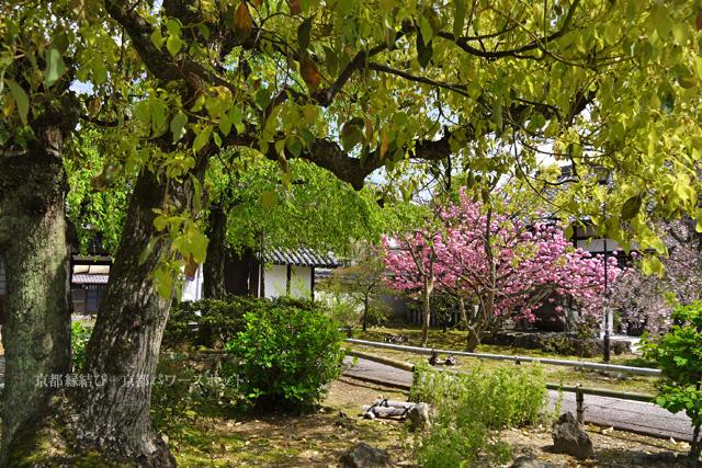 上品蓮台寺の桜