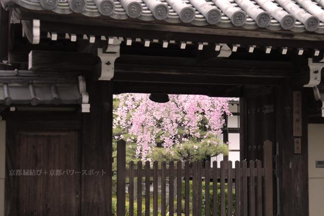 成願寺の枝垂桜