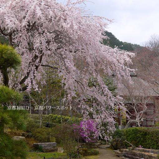 常寂光寺の枝垂桜