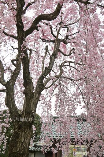 浄光寺の桜