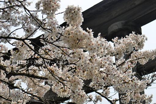 八津合八幡宮の桜
