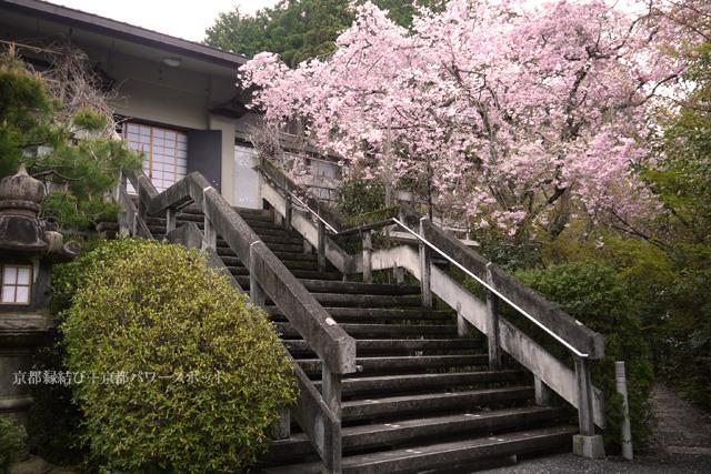 順興寺の枝垂桜