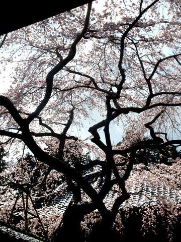 十輪寺の桜