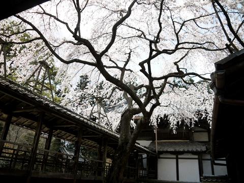 十輪寺の枝垂桜