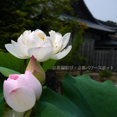 勧修寺の蓮