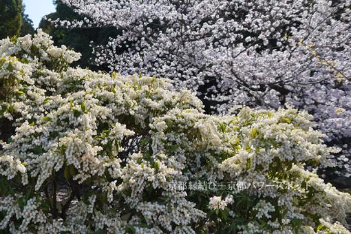 勧修寺の桜