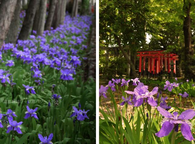 京都 上御霊神社のイチハツ