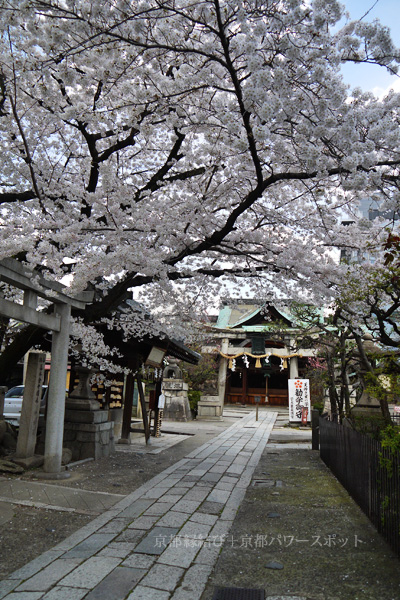 菅大臣神社の桜