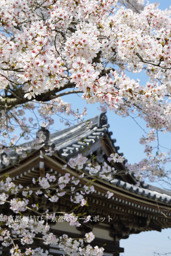 福知山 観音寺の桜