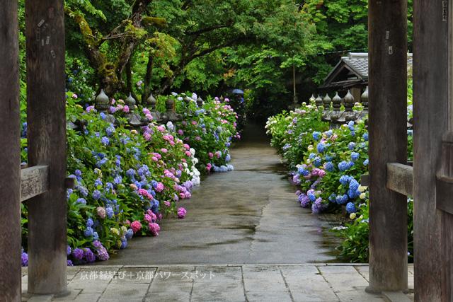 福知山 観音寺の紫陽花