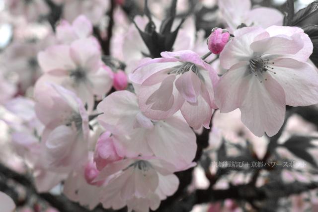 美山 歓楽寺の桜