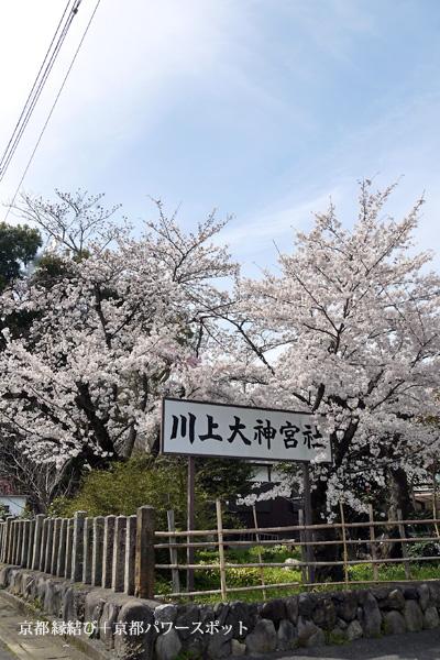 川上大神宮社の桜