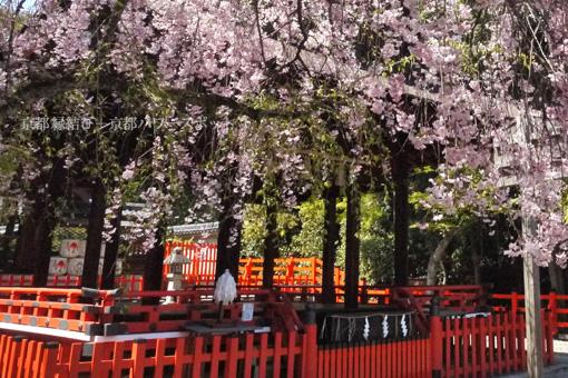 建勲神社の桜