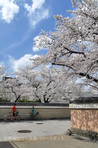 建仁寺の桜