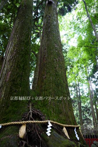 貴船神社の相生の杉