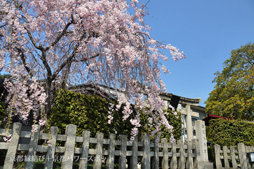金攫八幡宮の桜