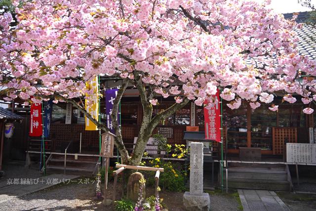 京都 清荒神の八重桜