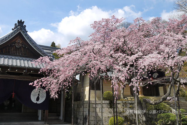 光明寺の桜