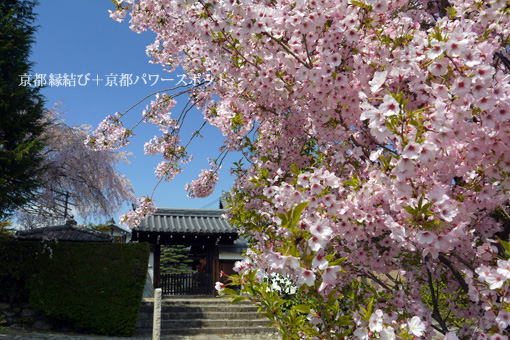 金戒光明寺塔頭の桜