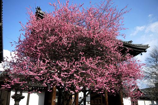 興正寺の梅
