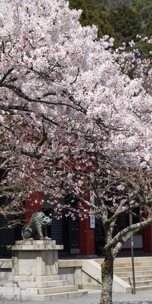 鞍馬寺の桜