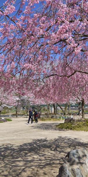 栗栖天満宮の桜