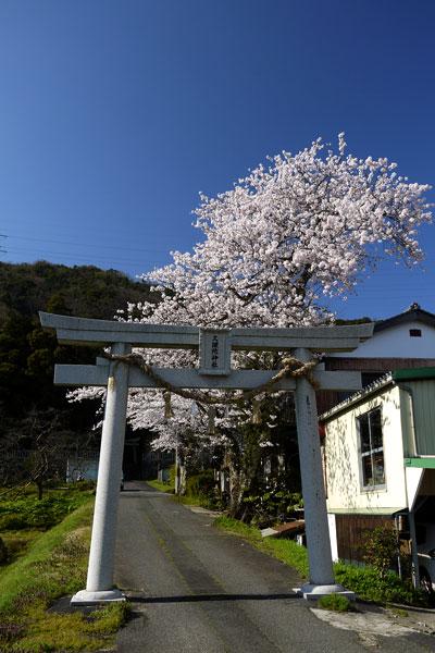久理陀神社の桜