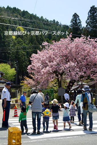黒田百年桜