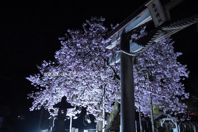 黒田百年桜 ライトアップ