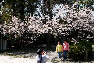 車折神社の早咲きの桜