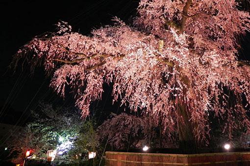 円山公園の枝垂桜