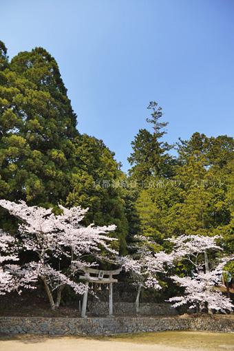 三神神社の桜