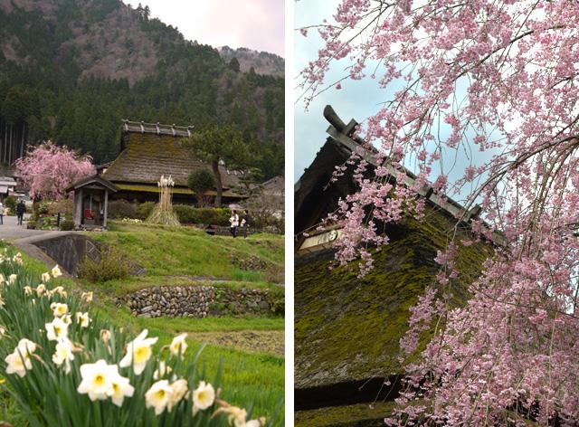 美山かやぶきの里の桜