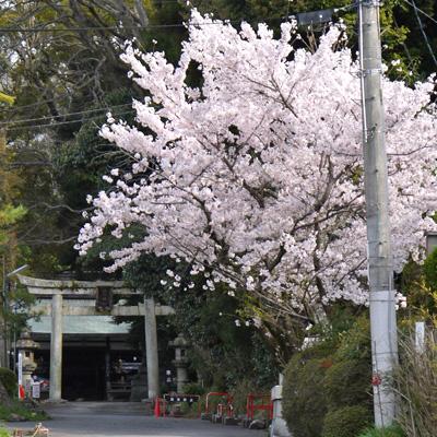 諸羽神社の桜