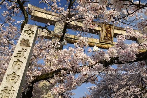 向日神社の桜