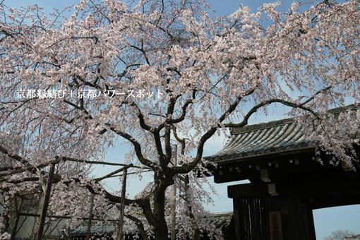 妙覚寺の枝垂桜