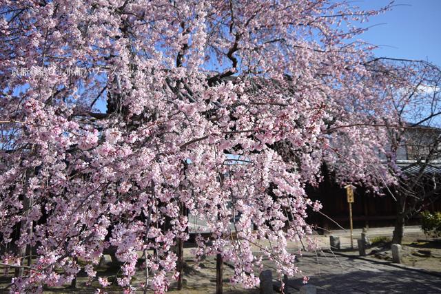 妙覚寺の桜