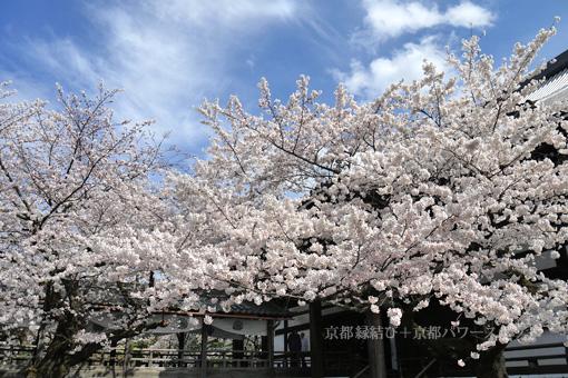 妙顕寺の桜