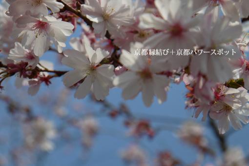 妙蓮寺御会式桜