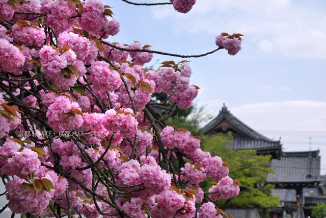 妙蓮寺の八重桜