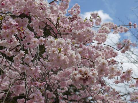 長岡天満宮 枝垂桜