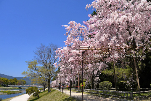 なからぎの道の桜